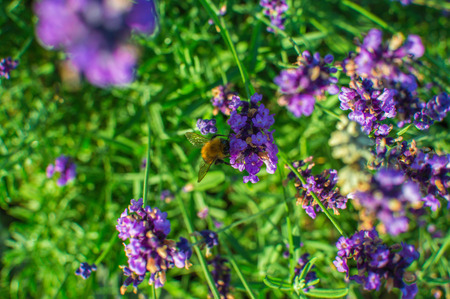 molinete: Lavender in a garden with whirligig sitting on it.