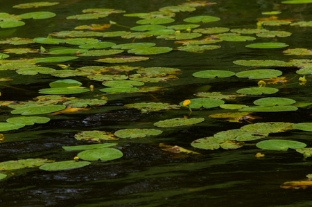 nymphaeaceae: Yellow water lilies in a lake. Stock Photo