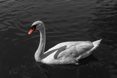 White swan with orange beak on water