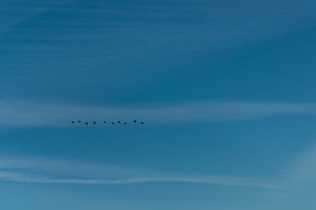 migrate: A flock of birds flying in the blue sky.