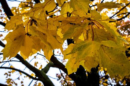 vegetative: Autumn yellow leaves on tree branch