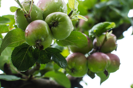 Fresh, ripe apples with water drops hanging on a apple tree