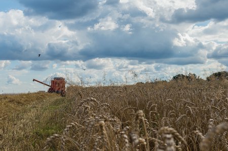 Grain is being cut by combine-harvester during harvest time in summer in Poland