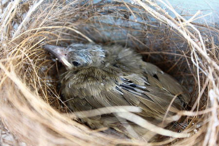 nestling: Bird wing and feather growth, nestling in the nest Stock Photo