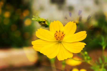 Beautiful single yellow flower sulfur cosmos with natural abstract background