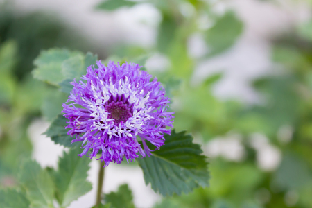 compositae: Lovely violet colour blossom flower Cirsium canum (Queen Annes Thistle) (Compositae) in botanic garden