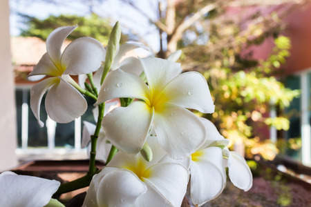 home corner: close up fresh beautiful charming fragrant white flower plumeria bunch in relax home corner with morning light