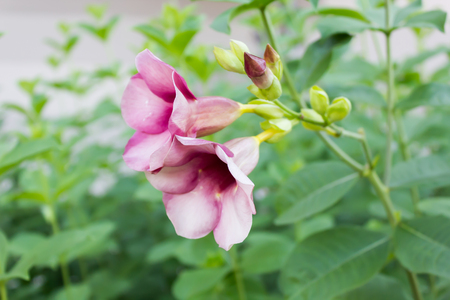 rosy: Close up bud of Cherries Jubilee Allamanda rosy pink flower in the garden Stock Photo