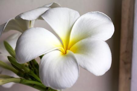 Close Up Frische Schöne Charmant Duftende Weiße Blume Plumeria ...