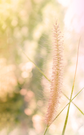 romantic picture: Beautiful grass flower in soft mood among sun  light with bokeh for romantic picture background