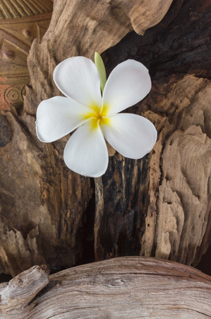 pink flower: White flower plumeria with old baked clay vase and timber wood background Stock Photo