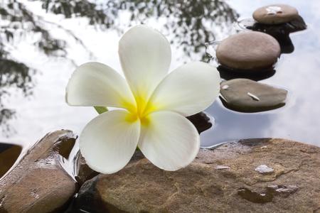 florae: Beautiful flower plumeria or frangipani on water and pebble rock for spa meditation mood