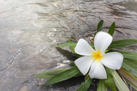 florae: Flower plumeria or frangipani on green leaf and water