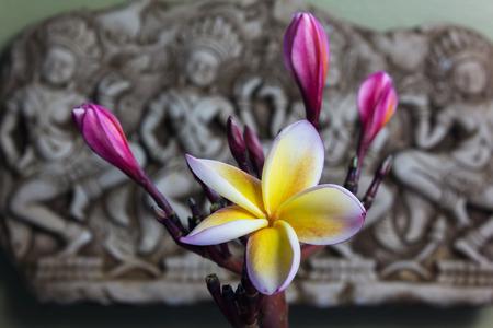 florae: Beautiful flower plumeria or frangipani in Asia  boutique style background