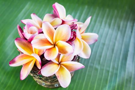 florae: Beautiful flower plumeria or frangipani on fresh banana green leaf Stock Photo