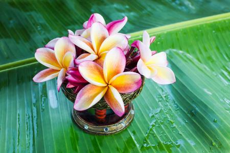 florae: Beautiful flower plumeria or frangipani on green banana leaf