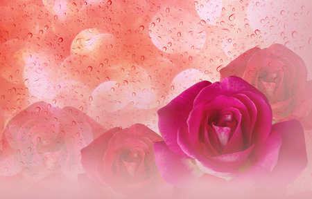disseminate: Romantic pink roses and water drop abstract orange pastel valentine background Stock Photo