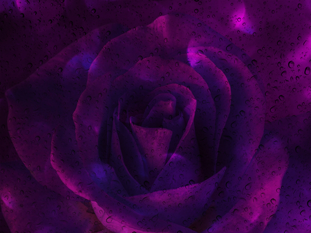 disseminate: Romantic violet rose with water drop on glass mirror plate for abstract valentine background