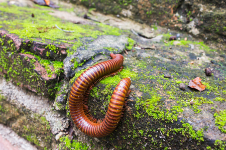 mosses: millipede or millepede eating mosses covered on old baked clay bricks floor