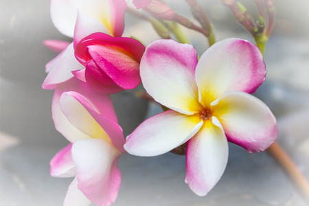 florae: Beautiful flower plumeria or frangipani in soft mood with copy space