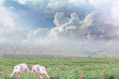 lensflare: Pigs on flowers field and sky background with happy morning sunlight and lensflare with copy space