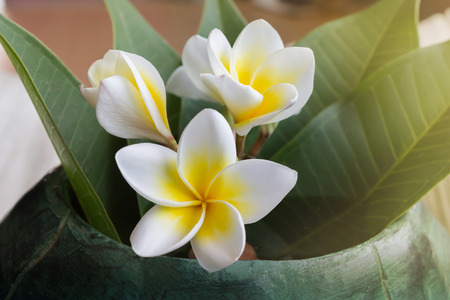 copy sapce: Beautiful charming fragrant white yellow flower plumeria or frangipani bunch with green leaf and copy sapce