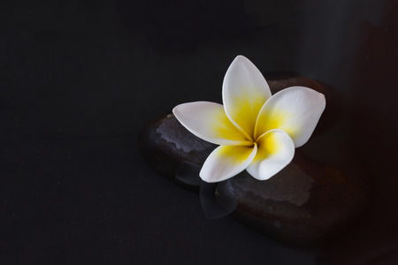 florae: Single flower yellow white plumeria or frangipani on pebble and water with peaceful mediatation or spa relax feeling and copy space
