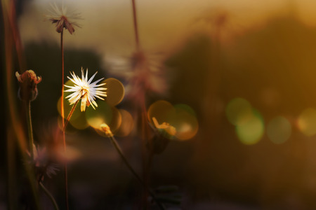 romantic picture: Beautiful white grass flower in soft mood among sun set light with colourful bokeh for romantic picture background Stock Photo