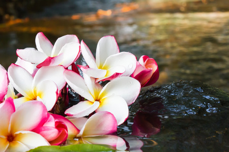 florae: Pink white and yellow flower plumeria or frangipani on water and waterfall rock in crystalline stream for spa meditation mood