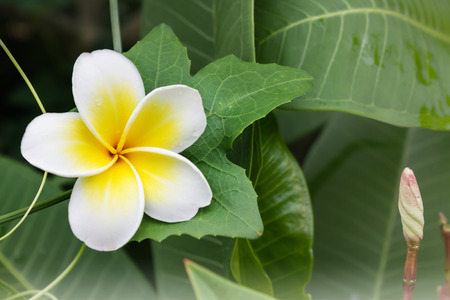coccinia grandis: White anf yellow flower plumeria or frangipani with fresh coccinia grandis leaf and creeper background, greenery fresh nature background flower frangipani and plumeria and happy morning mood Stock Photo