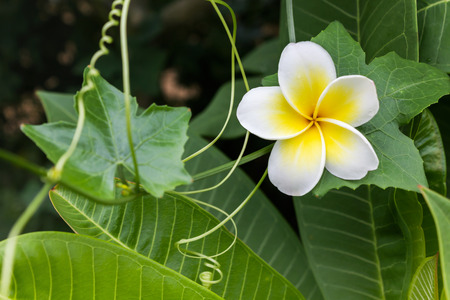 coccinia grandis: White and yellow flower plumeria or frangipani with fresh coccinia grandis leaf and creeper background, greenery fresh nature background flower frangipani and plumeria Stock Photo