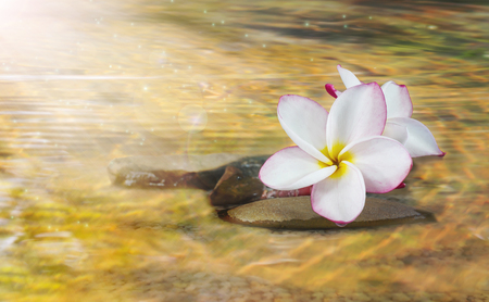 florae: White pink and yellow fragrant flower plumeria or frangipani on crystalline water and pebble rock for spa meditation mood, plumeria or frangipani on peace nature with sunlight and lens flare, plumeria or frangipani on transparent water surface