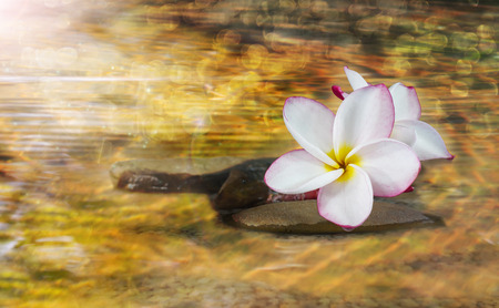 crystalline lens: White pink and yellow fragrant flower plumeria or frangipani on crystalline water and pebble rock for spa meditation mood, plumeria or frangipani on peace nature with sunlight, bokeh and lens flare, plumeria or frangipani on transparent water surface Stock Photo