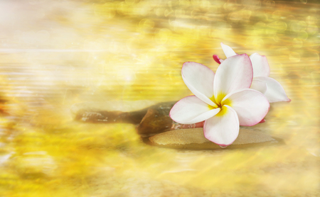 florae: White pink and yellow fragrant flower plumeria or frangipani on golden dreamy stream and pebble rock for spa meditation mood, plumeria or frangipani on peace nature with sunlight, bokeh and lens flare, plumeria or frangipani on transparent water surface Stock Photo