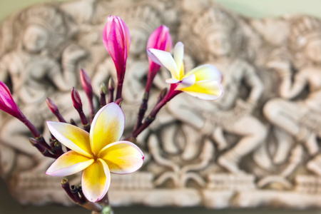 florae: Beautiful white yellow and pink flower plumeria or frangipani bunch in Asia  boutique style background, soft vintage charming harmony frangipani or plumeria flower with copy space