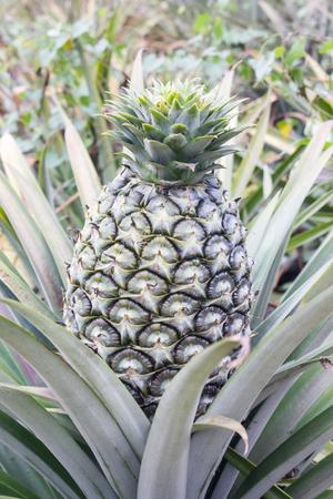 pineapple tree: Big fresh pineapple on tree in green garden tropical farm view background, closeup pineapple fruit