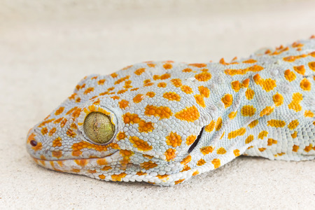 knotting: Focused eye and head gecko or gecko verticillatus, orange and grey colour dot knotted or ragged skin gecko on the floor, Gecko one of  scary  lizard animal big gecko Lacertilia (Sauria)