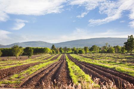 genus: Landscape view of farmland, plot or bed of cassava or manioc or tapioca plant or genus Manihot in puffy clouds blue sky Stock Photo
