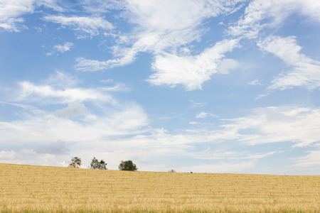 knoll: Nature landscape view of yellow soft golden grass field hill and puffy clouds blue wide sky in fresh freedom mood