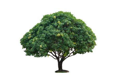 Isolated single mango tree on white background with clipping path, fresh green mango tree bush on white