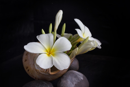 conch shell: Flower frangipani or plumeria in sea conch shell on pebble in dark background and blank space area Stock Photo