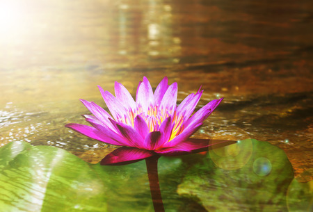 crystalline lens: Beautiful purple lotus flower on crystalline stream background in golden sunlight and lens flare for dreamy nature background, single lotus in fantasy mood