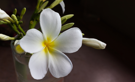 White yellow plumeria or frangipani flower in glass with blank copy space area for background in dim light room Stock Photo