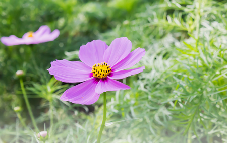 Dreamy lovely single pink flower cosmos on tree with green leaf for nature background in warm sunlight