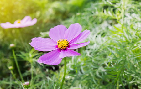 Lovely single pink flower cosmos on tree with green leaf for nature background in warm sunlight Standard-Bild