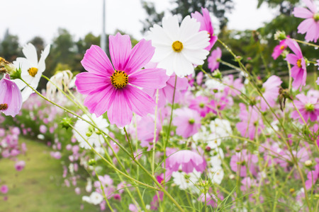 Lovely beautiful white and pink flower cosmos cover by rain drop in the flower field after raining