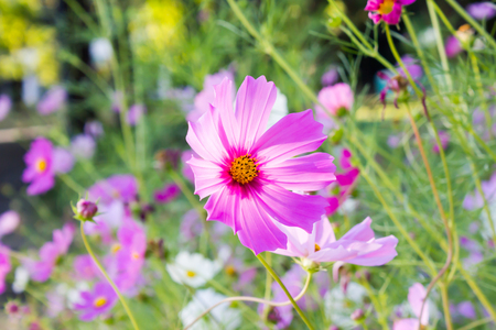 Lovely pink flower cosmos in the field with green nature background,dreamy romantic spring and summer Standard-Bild