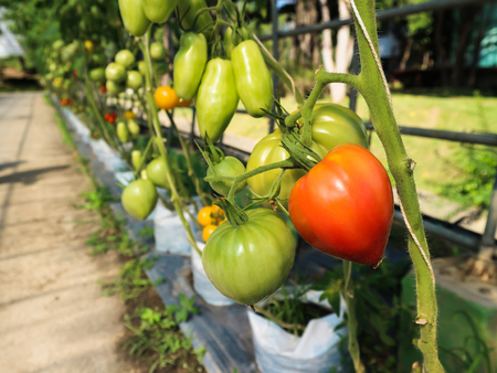 Various shape and colour tomato, row of organic fresh vegetable red and green tomato tree in the garden or farm
