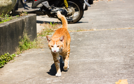 Lost cat, yellow brown single pet or domestic cat walking on public concrete street under sunlight day time Standard-Bild