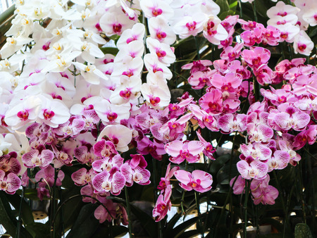 Beautiful white violet purple pink orchid flower tree decorated in row in the garden